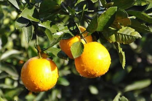 祁东冰糖橙