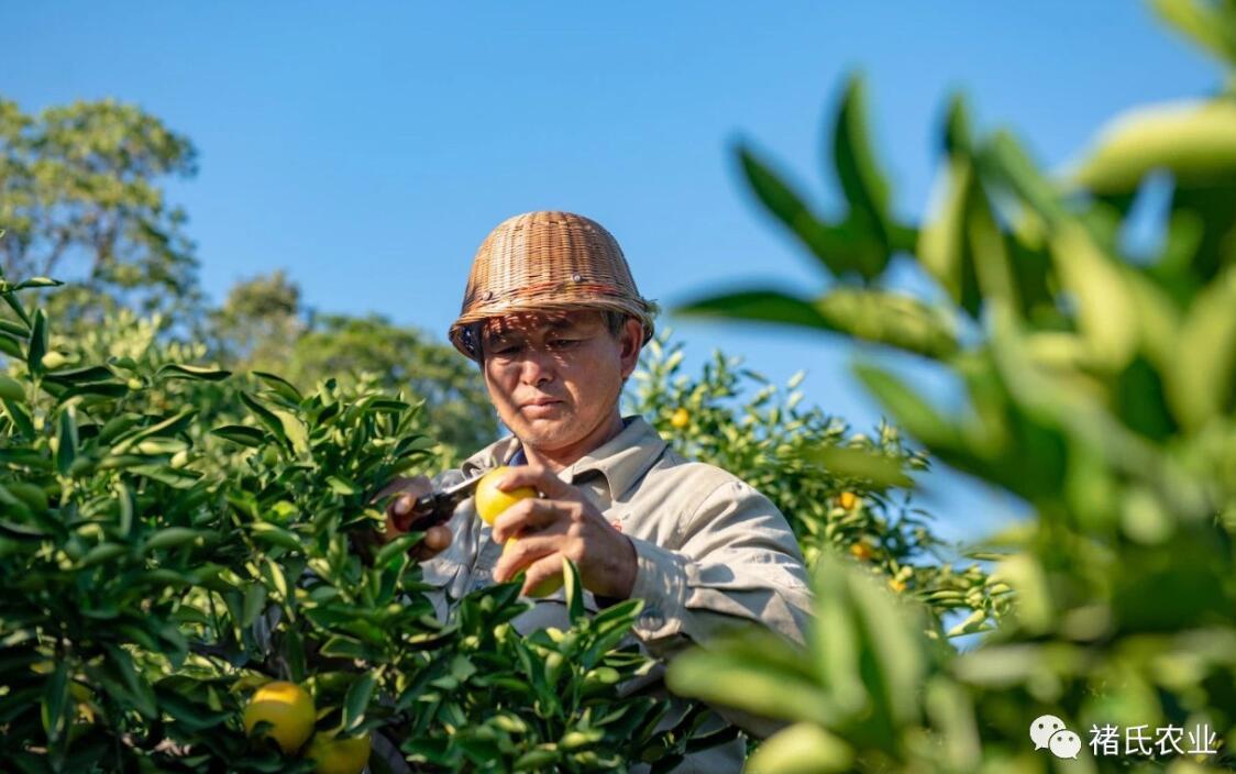 2020年褚橙多少钱一斤,官方价格公布!