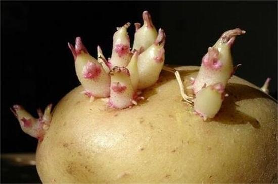 土豆发芽了还能吃吗,会不会中毒?