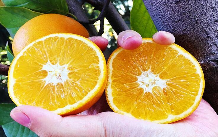 麻阳优质的冰糖橙批发多少钱一斤?