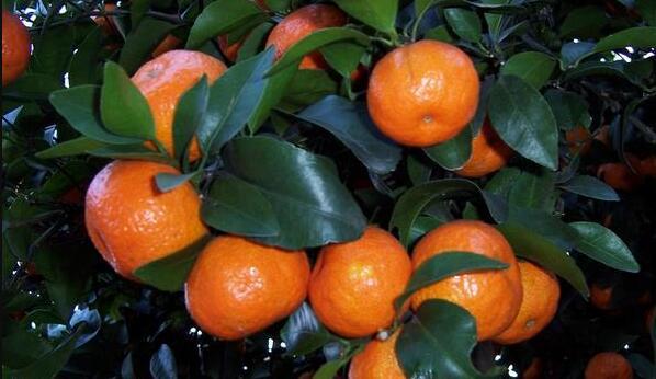 柑橘需要时常修剪,可以提高产量?